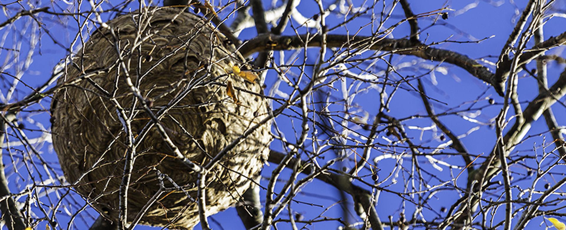 Signalez un nid de frelon asiatique